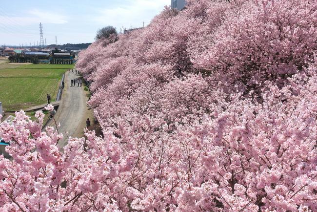 春めき桜-008