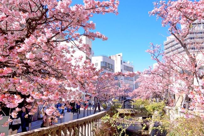 あたみ桜-001