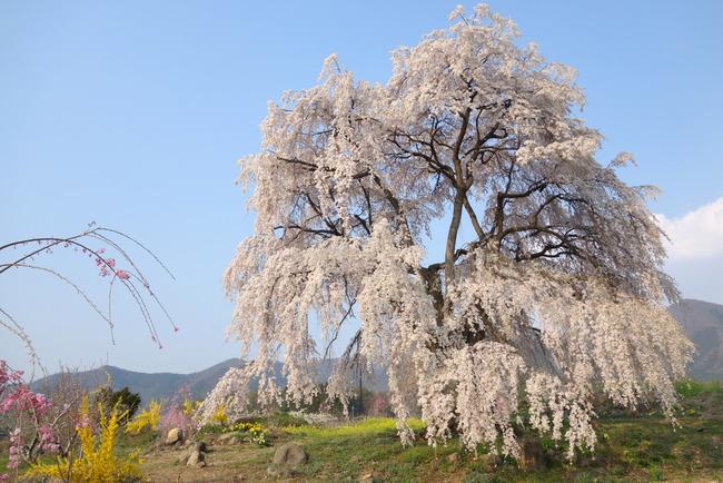 高山村しだれ桜-013
