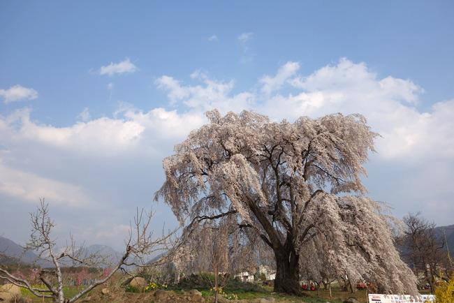 高山村しだれ桜-012