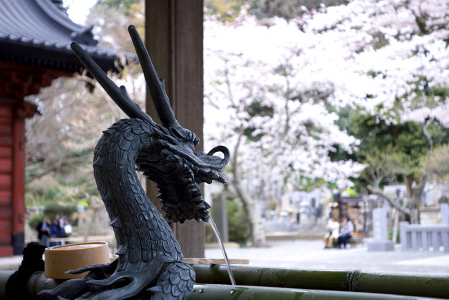 鎌倉桜-008