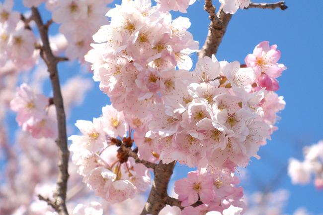 春めき桜-003
