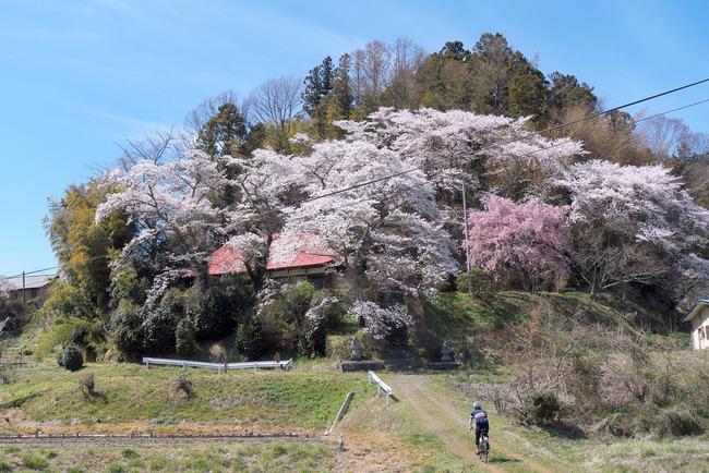 三春町桜めぐり-014