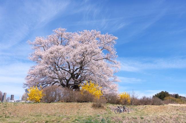 三春町桜めぐり-013