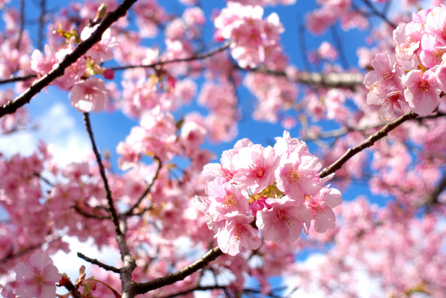 河津桜-001