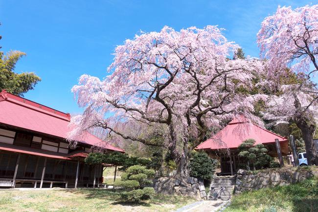 三春町桜めぐり-008