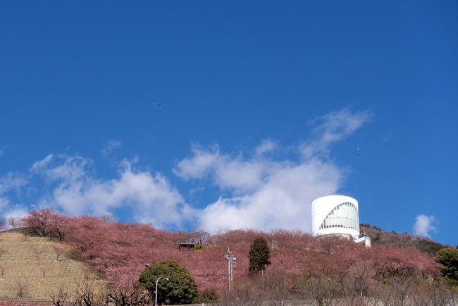 松田町河津桜-003