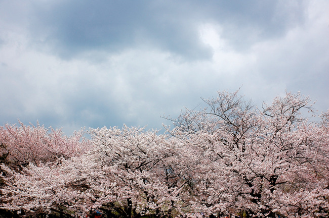 桜散る-007