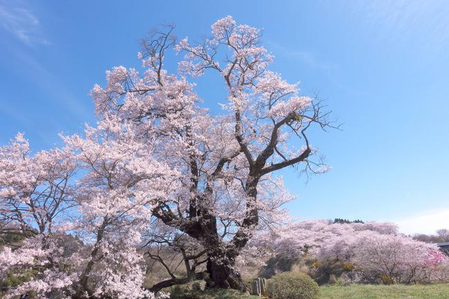 三春町桜めぐり-015