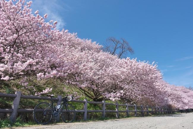 春めき桜-006