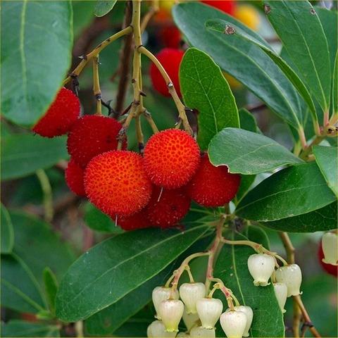 arbutus-strawberry-tree