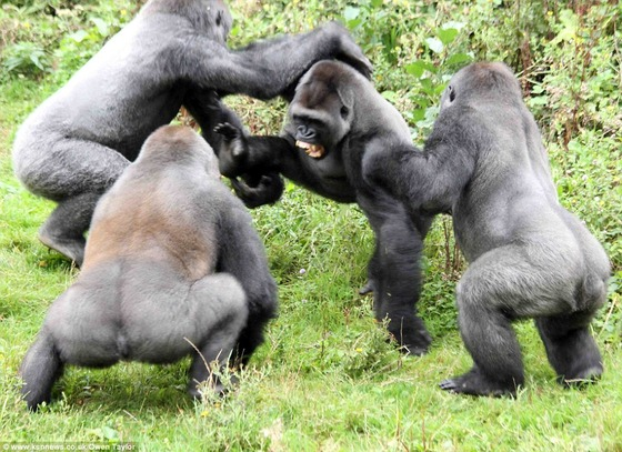 1412329234065_wps_28_Gorillas_fight_over_a_tom