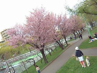 満開な桜♪
