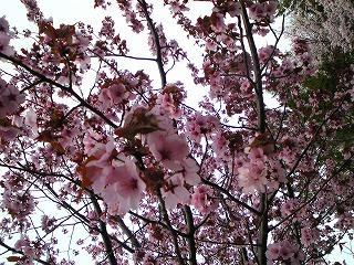 キレイな桜