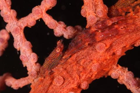 HPリュウグウコシオリエビ