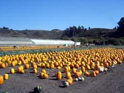 今年初のPumpkin