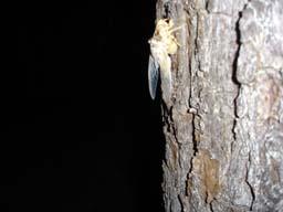 cicada2