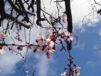 これは桜と思われる