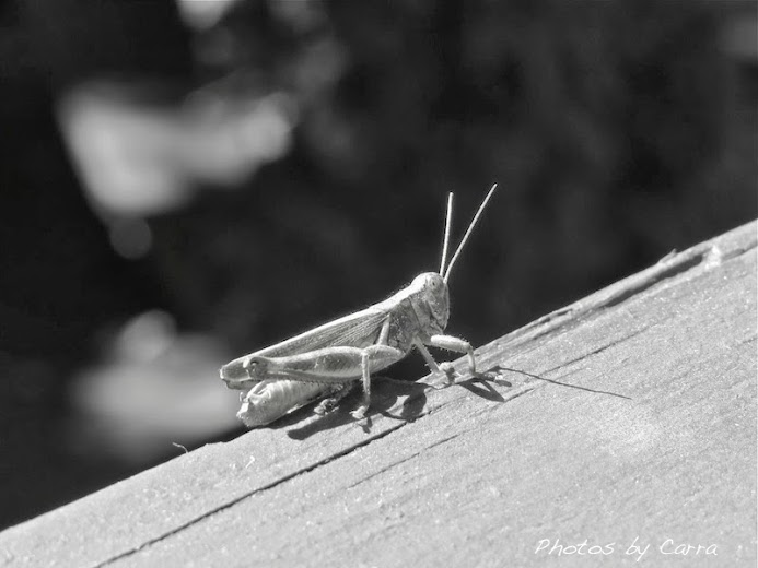 Monochrome Monday  grasshopper sn