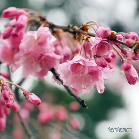 170408b-しだれ桜