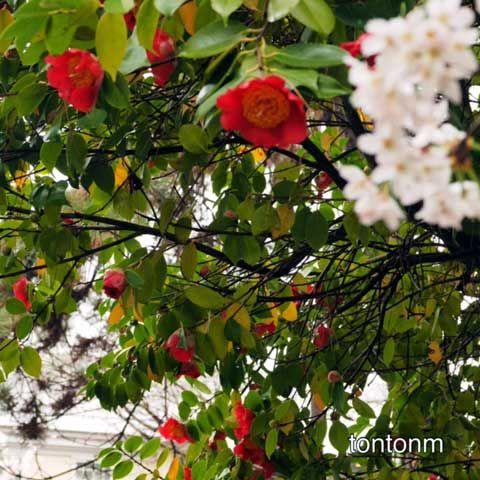 170408b-椿と桜