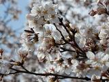 役場脇の桜�