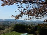 ふれあい牧場の桜�