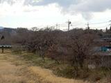 久慈川桜並木�