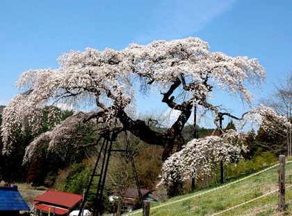 外大野しだれ桜