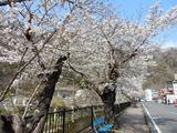 袋田の滝周辺の桜�
