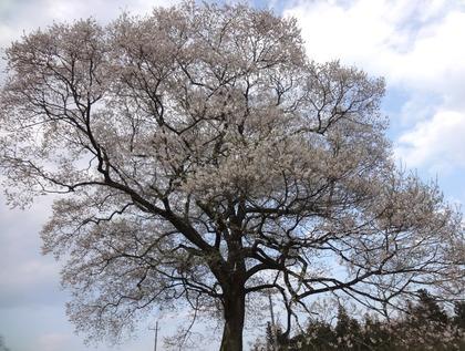 上岡エドヒガン桜4月24日(1)