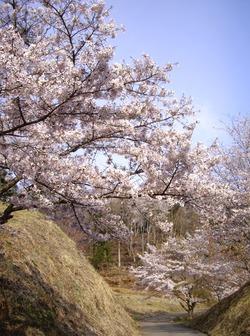 2010沓掛峠の山桜