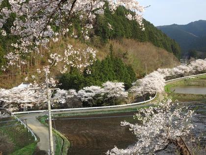 相川桜並木4月24日(1)