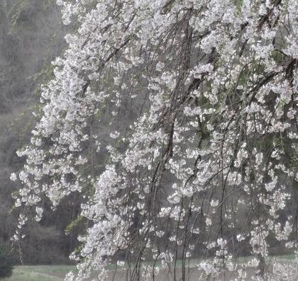 外大野しだれ桜4月24日(2)