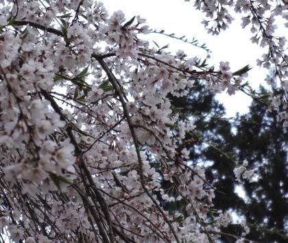地蔵桜4月24日(2)
