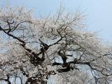 上岡のしだれ桜�