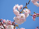 相川のぼたん桜�
