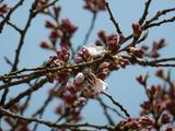 外大野のしだれ桜�