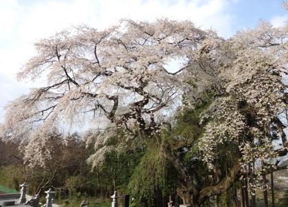 相川しだれ桜4月24日(1)