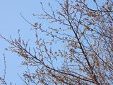 相川桜並木�
