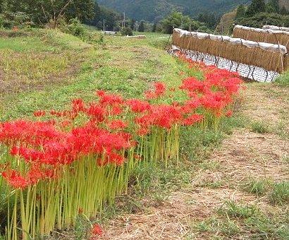 20100924彼岸花
