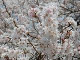 上岡のエドヒガン桜�
