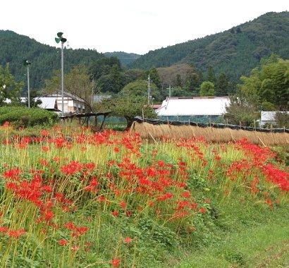 20100924彼岸花3