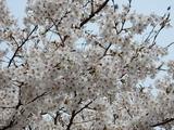 小生瀬地蔵桜脇の桜�