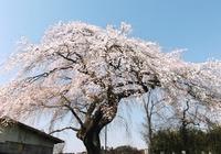 上岡しだれ桜