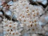 小生瀬地蔵桜�
