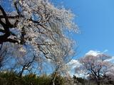 しだれ桜とエドヒガン桜
