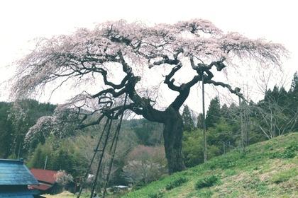 外大野しだれ桜4月21日(1)
