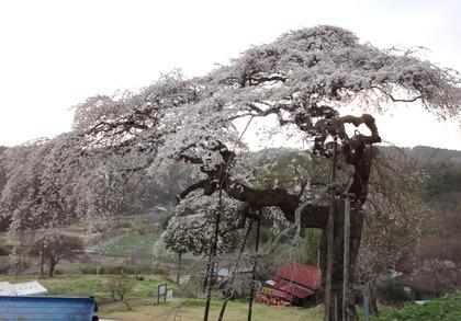 外大野しだれ桜4月24日(1)