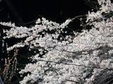 相川のしだれ桜�